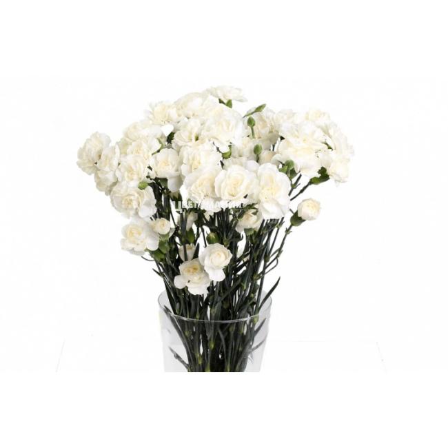 Кустовые гвоздики купить в спб, цветы владимире букеты